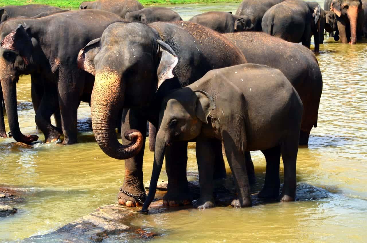 pinnawala_Elephants_wowtovisit_elephants orphanage