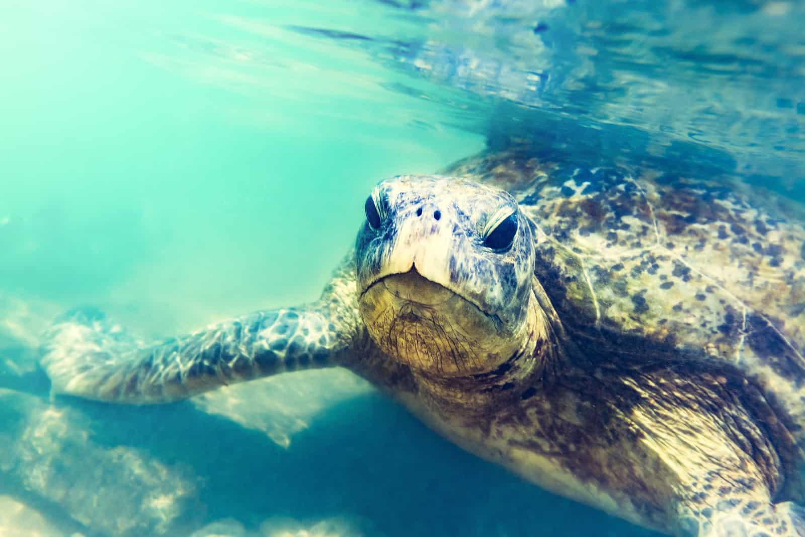 bigstock Sea turtle underwater at Hikka 244842499
