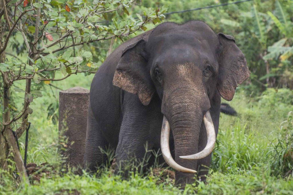 sri lankan elephant_elephant in sri lanka _sri lanka elephant