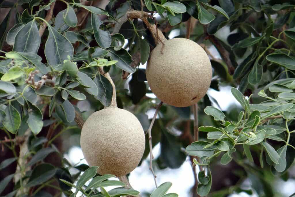 Health Benefits of 7 Unique Fruits_wood apple