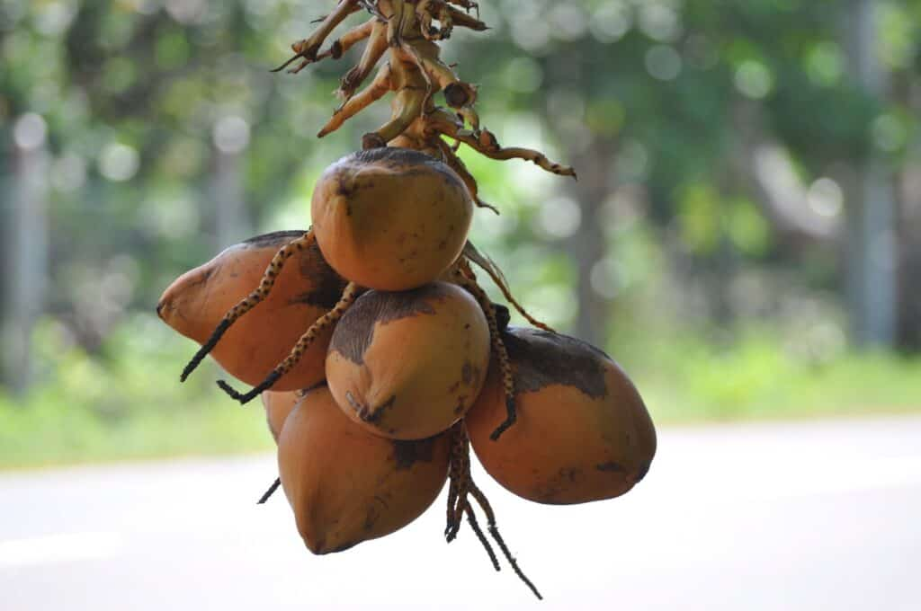 Health Benefits of 7 Unique Fruits_king coconut