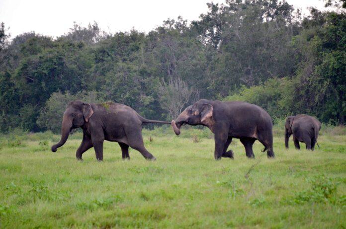 sri lankan elephant_elephant of sri lanka _elephant in sri lanka