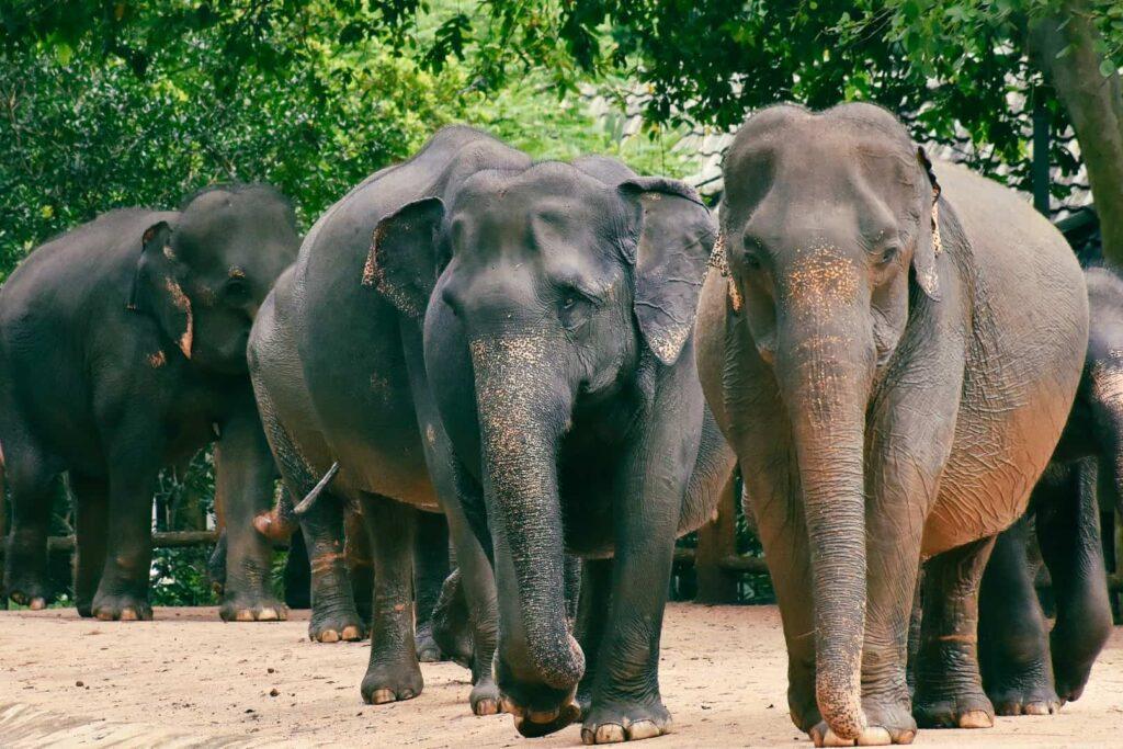 srilankanelephant