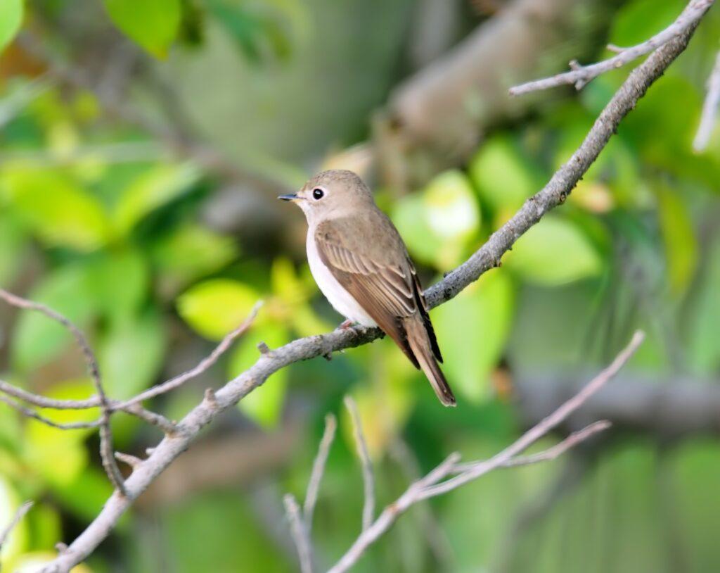 Asian brown flycatcher_sri lankan birds_birds in sri lanka