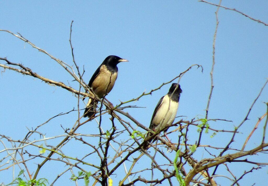 Rosy starling_sri lanka birds