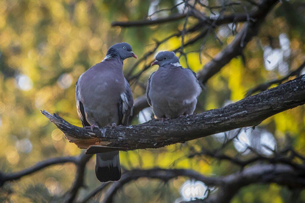 common wood pigeon 5354103 1920