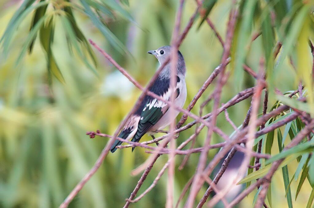Daurian starling _birds in sri lanka