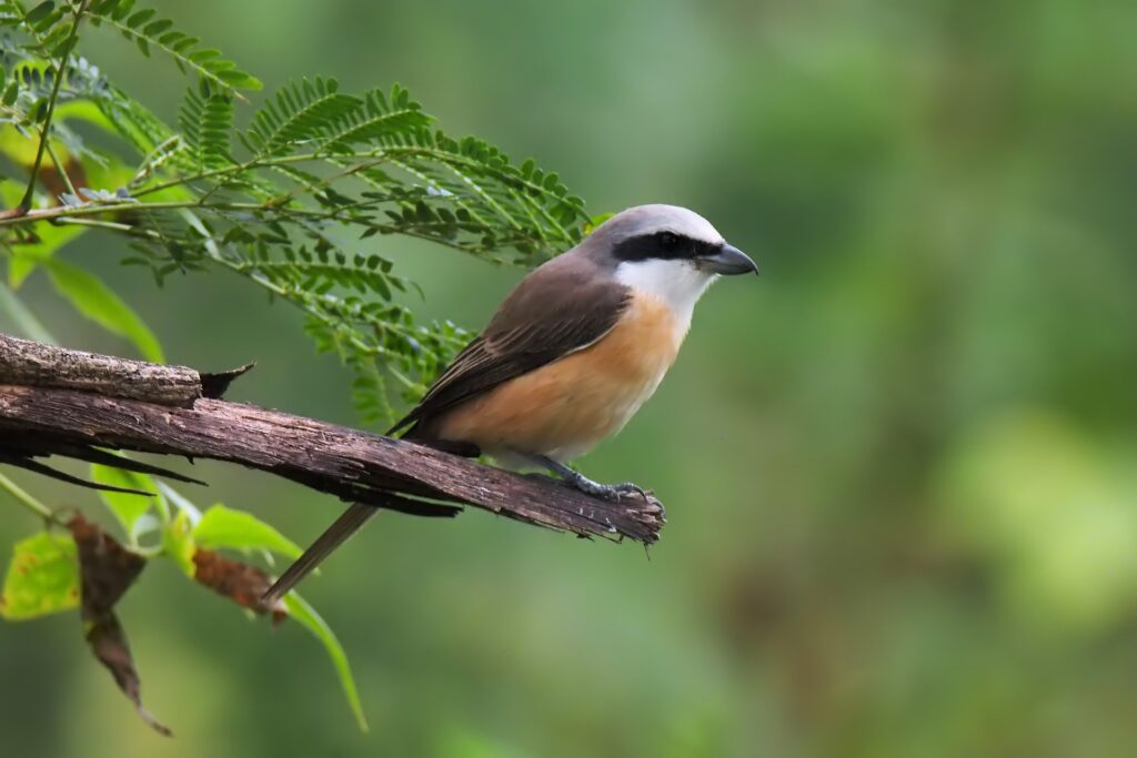 Brown Shrike(Laniuscristatus)_sri lanka birds