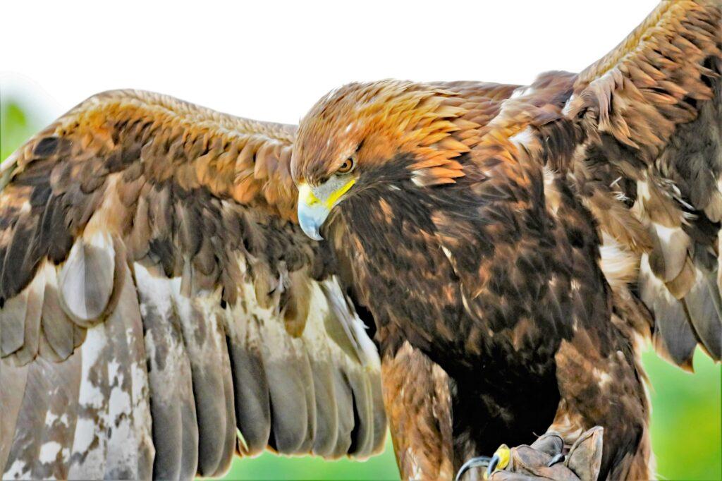 golden eagle 1679166 1920