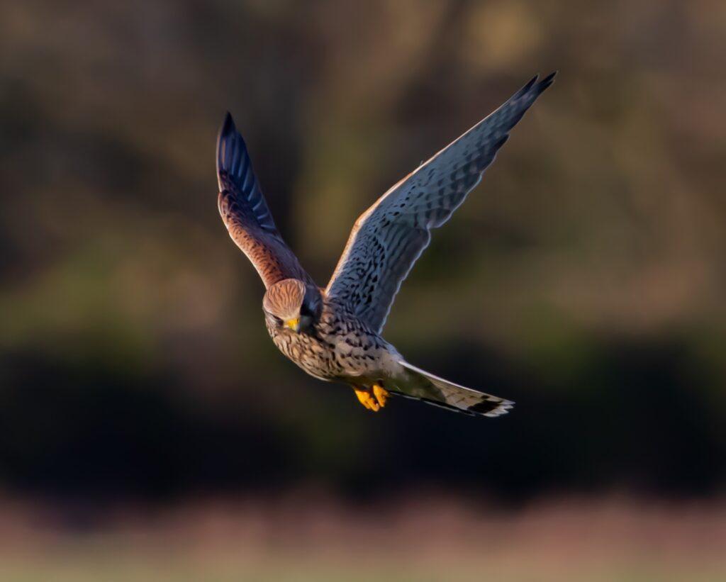 Eagle_kestrel