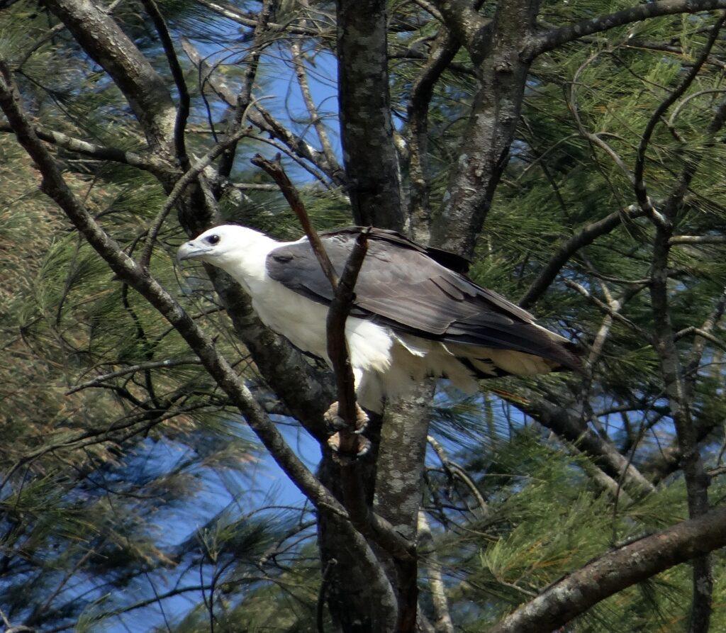 white bellied sea eagle 251104 1920